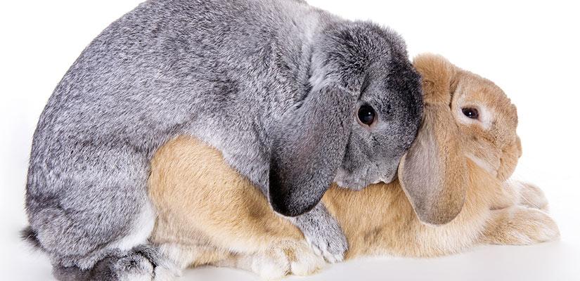 El apareamiento de los conejos - Como se aparean los elefantes ...
