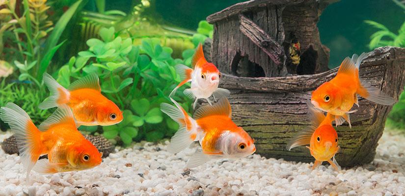 Consejos para decorar tu acuario for Peces para acuarios pequenos