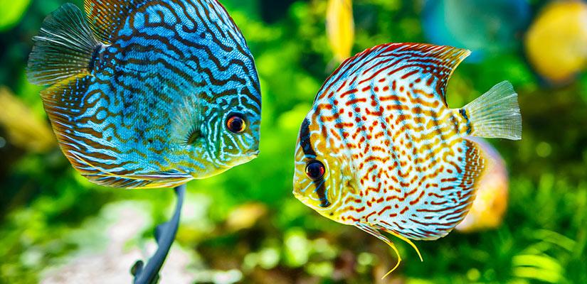 15 enfermedades comunes en peces tropicales for Peces tropicales